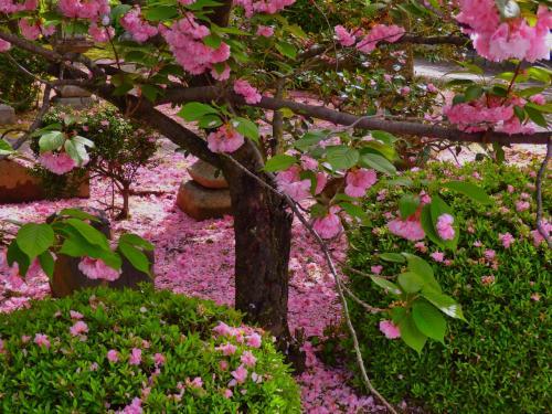 本満寺で満開の牡丹と散り始めた八重桜を観た後はみんなお昼寝中の動物園へ~孫を連れたうららかな春の1日の過ごし方~