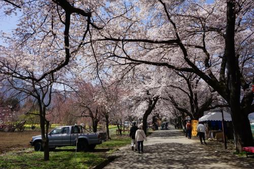 2016.4 満開の桜を訪ねて(2)~眞原桜並木、三嶋大社
