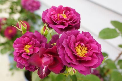 国際バラとガーデニングショウ 2016
