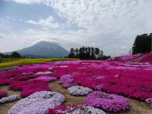 ラッキー連続の北海道旅(憧れの羊蹄山と三島さんちの芝桜編)♪