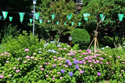 白山神社の紫陽花、小石川後楽園の花菖蒲をメインに文京区内を散策。<br />小石川後楽園は続編に記載予定