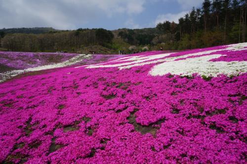 2016GW東北の旅①(ジュピアランドひらたの芝桜)