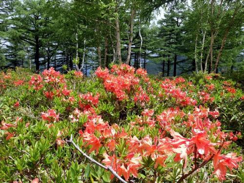 長野・湯の丸高原のレンゲツツジ