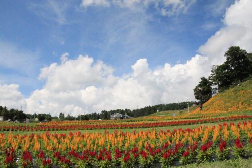 長野 富士見高原リゾート花の里 ジニア、ゆり、あじさい…お花畑に誘われて♪(1)
