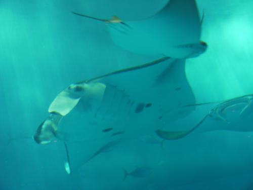 海洋博公園は、昭和50年に沖縄で開催された沖縄国際海洋博覧会を記念して設置された国営公園です。<br />沖縄美ら海水族館やイルカショー、プラネタリウムなどがあり、沖縄屈指の観光地です。<br />また、美ら海水族館は、世界最大級の水族館です。