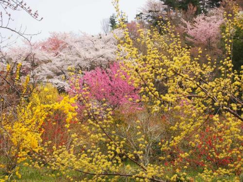桜を追って・・・その2