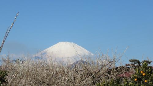 東京では春一番も吹き、日ごと暖かくなる今日この頃。桜にはまだ早いけれど梅の花は見ごろになったので小田原の曽我梅林まで観梅に出かけました。早咲きの梅は見頃を過ぎた頃でしたが、しだれ梅はちょうど見頃! 青空をバックにした白梅の花は雪のように白くてなんとも美しかったです。<br />富士山も小田原近くまで来ると大きくて迫力! 午後になると隠れてしまうので午前中が狙い目です。<br />帰りは曽我丘陵を登って国府津まで抜けましたが、みかん畑越しに相模湾を眺めながらのウォーキングは気持ちよかったです。梅以外にも春の草花に出会えてほっこり。<br />〆はスーパー銭湯で岩盤浴。梅、富士山、みかん、海、温泉と、とても充実した1日でした!