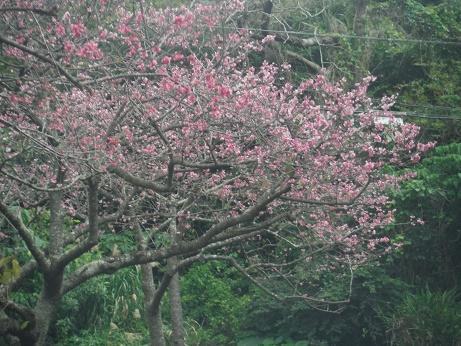 花見に行きました。沖縄の桜は寒緋桜といって内地の桜とは違い、北から南に向かって桜前線が進みます。また、花によって咲くのもまちまちなので、結構長期にわたって花見が楽しめます。