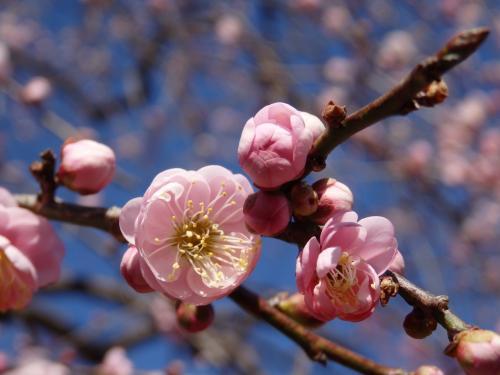 青空が広がった2月半ばの日曜日、伊豆や小田原の河津桜が見頃のようでしたがそこまで遠出する元気?はなく、近場のお花見スポットから府中の「郷土の森梅まつり」を見つけて観梅をしてくることに。<br />この日が初訪問だった府中市郷土の森博物館、いつも行く小金井公園とはまた違った趣きがあってよい所でした。<br /><br />旅行記というよりお散歩日記レベルですが、よかったら最後までご覧下さい。