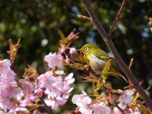 2017年聖崎公園の桜
