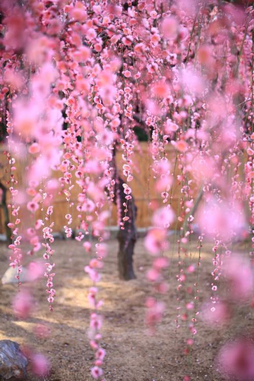 枝垂れ梅が見頃になった結城神社へ。