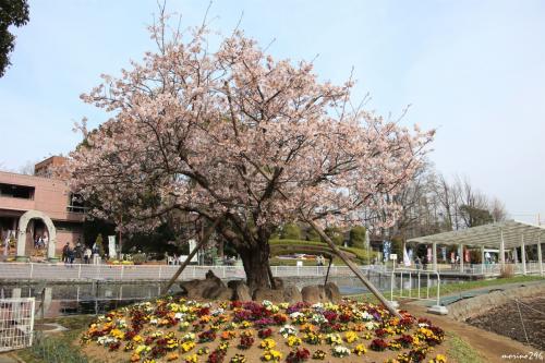 玉縄桜が咲くフラワーセンター大船植物園へ出掛けました。<br />ちょうど、園長の案内による「花さんぽ」(ガイドツアー)に参加できて、解説を聞きながらお花見を楽しむことが出来ました。<br /><br />大船植物園は、バラを見に来ることが多いのですが、桜も本数は少ないですが種類が多く楽しめることを再認識しました。<br /><br />3月の「花さんぽ」は、毎日曜日の10:30と13:30から約1時間です。(参加自由)<br /><br />(コメントは、「花さんぽ」でもらったチラシを参照しています。)