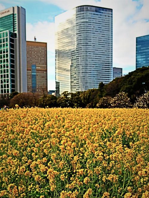 「お花畑」のナノハナが見頃を迎えています。後から種をまいた部分は、まだ満開ではないので、鳥除けネットを残しています。天気の良い日には、黄色い花がおひさまの光を受けてまばゆいばかりの明るさになります。<br /><br />  ウメも次々と花をつけています。「お花畑」から「旧稲生神社」にかけて、「花木園」やサービスセンター周辺のものも見頃を迎えています。「梅林」では全部咲き揃ってはいませんが、1本単位で見ると、満開もしくは満開に近い状態の木もあります。ウメの花からはとてもよい香りが漂ってきます。<br /><br />浜離宮恩賜庭園(はまりきゅうおんしていえん)は、東京都中央区浜離宮庭園にある都立庭園である。<br /><br />東京湾から海水を取り入れ潮の干満で景色の変化を楽しむ、潮入りの回遊式築山泉水庭。江戸時代に庭園として造成された。園内には鴨場、潮入の池、茶屋、お花畑、ボタン園などを有する。もとは甲府藩の下屋敷の庭園であったが、将軍家の別邸浜御殿や、宮内省管理の離宮を経て、東京都に下賜され都立公園として開園。<br /><br />近年、かつて園内にあった複数の建築物の復元計画が進められており、2010年に松の御茶屋、2015年に燕の御茶屋の復元が完了した。2016年12月から2018年まで鷹の御茶屋を復元工事中でいる。<br />(フリー百科事典『ウィキペディア(Wikipedia)』より引用)<br /><br />浜離宮恩賜庭園 については・・<br />https://www.tokyo-park.or.jp/park/format/index028.html<br />http://teien.tokyo-park.or.jp/contents/index028.html<br /><br />