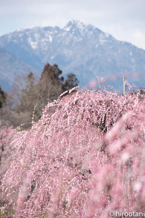 今年の梅めぐり3ヶ所目は、鈴鹿の森庭園。これは、最近話題となっているしだれ梅の庭園です(2014年オープン)。日本各地から集められた200本強の枝垂れ梅の名木は、匠の技で作りあげられ、非常に手入れが行木届いています。中には日本最大級の大木もあります。<br /><br />3/11に最初に訪れましたが、この時は八分咲き。それでも、素晴らし枝垂れ梅を撮影することができました。<br />