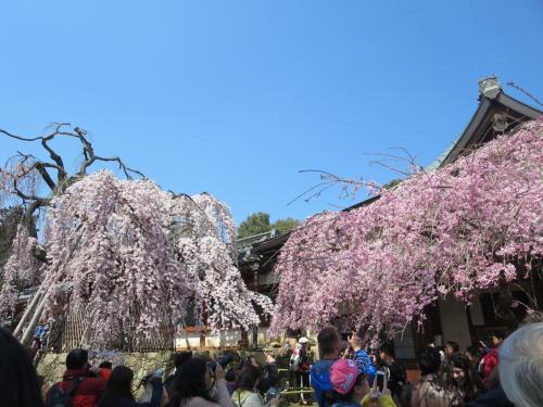 母と行く氷室神社・興福寺特別展「阿修羅」☆枝垂れ桜の名所は、すごいことになってました\(◎o◎)/!