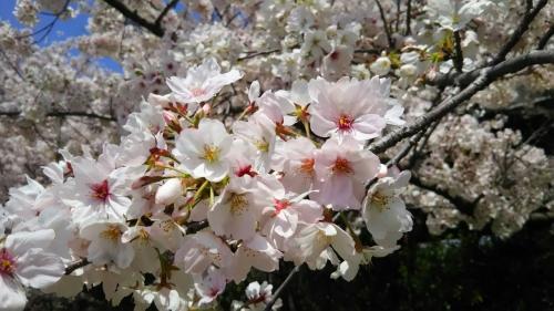 4月13日木曜日<br /><br />ようやく京都も快晴の様子。<br /><br />桜は、雨風でだいぶ散り気味ですが、それでも綺麗に咲いているようです。<br /><br />京都の介護タクシー http://kaigotaxi-info.jp/top_586.html<br /><br />京都のバリアフリー観光・旅行 お役立ち情報<br /><br />https://matome.naver.jp/odai/2136877283891323601<br />