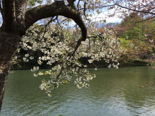 県立三ッ池公園、ソメイヨシノは桜吹雪。天気も良くて最高でした!