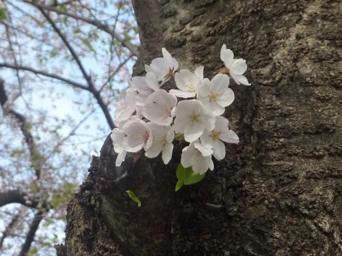 京都の淀城を、まだ南に行った地域で、木津川と宇治川と淀川が合流する地域。<br /><br />京阪本線八幡市駅から徒歩10分ほど。<br /><br />男山の石清水八幡宮も在ります。<br /><br />淀川河川公園背割堤地区 https://sp.jorudan.co.jp/hanami/spot_320.html<br /><br />京都のバリアフリー観光・旅行 お役立ち情報 https://matome.naver.jp/odai/2136877283891323601<br /><br />京都の介護タクシー http://kaigotaxi-info.jp/top_586.html<br /><br />圧巻の桜の並木道が約1.4kmにわたって続きます。<br /><br />あいにくの、悪天候続きで葉桜や散ってしまい、綺麗に観れないのが少々残念です。<br /><br />来年は頑張って、良い写真を撮りたいと思います。