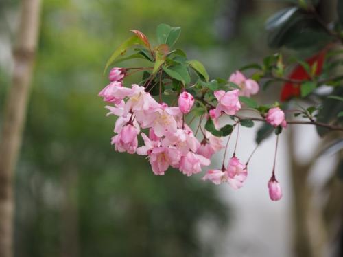 名残の桜と松尾芭蕉ゆかりの山中温泉