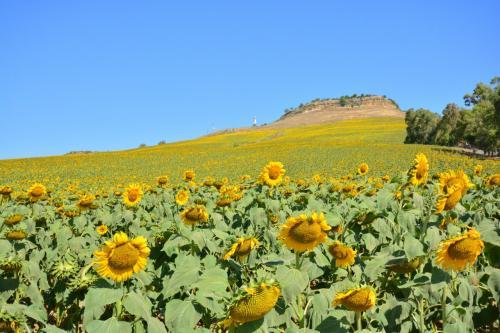 スペイン・アンダルシアらしい風景に一面に広がるヒマワリ畑があります<br />最近このヒマワリ畑観光に押し寄せる日本人が増え、地元カルモナの人々も不思議がってTVの特集番組が放送されたそうです<br /><br />私も太陽の国スペインのイメージにふさわしいこのヒマワリ畑を見たいと思い、いろいろ調査したところセビリア発の現地ツアーがありました<br /><br />しかし85ユーロと高く、旅行にもコストパフォーマンスを追及する我々には受け入れがたいものがあります<br /><br />そこでセビリアから往復路線バスを利用し行って見ることに、、、、その結果や如何