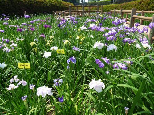 分水堀緑道のハナショウブ_2017_見頃ちょっと過ぎでしたが、花が残っていました。(群馬県・大泉町)