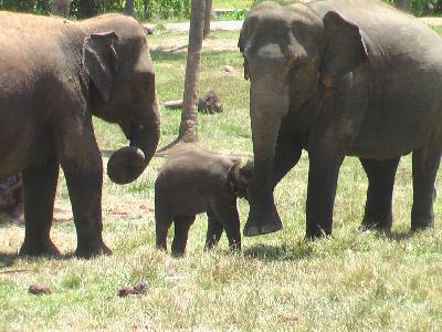 スリランカの旅【10】 みなしごの赤ちゃん象も幸せそうな ピンナワラ象の孤児院