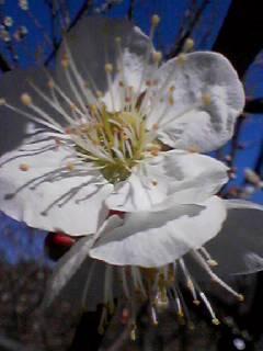 府中郷土の森で「梅祭り」