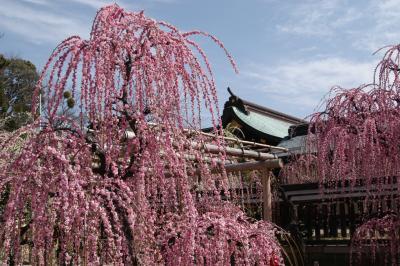 結城神社「しだれ梅」