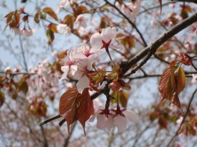静内二十二間道・桜まつり♪~日帰りバスツアー~