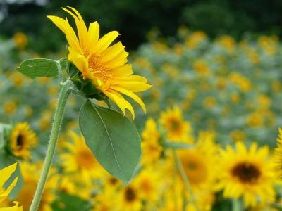 Sunflower Museum 2008