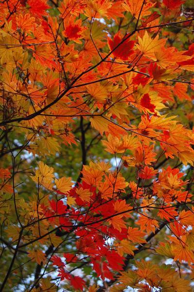 強羅と大涌谷は紅葉まっさかり!