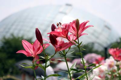 ひとり旅 [563] 大山と蒜山へ?<とっとり花回廊 フラワードーム>鳥取県南部町