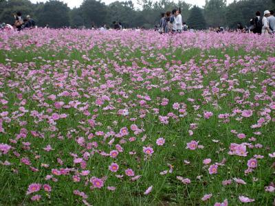 Japan  コクリコさんのかわりに昭和記念公園へコスモスを見に  2009  ~ミツバチばあやの冒険~