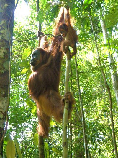 オランウータンの住むスマトラのジャングル グヌン・レウサー国立公園 トレッキング