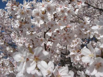 4・10 伊那~桜だより