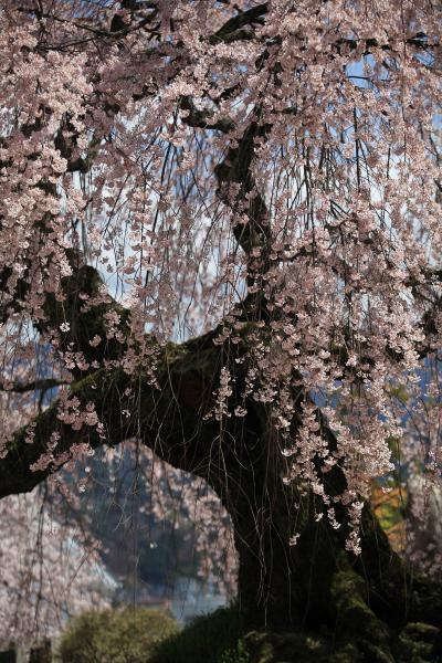 「麻績の里 舞台桜」(おみのさと ぶたいざくら)、桜花の舞 /長野県飯田市