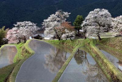 三多気の桜。。(みたけのさくら) 日本の桜名所100選 /三重県津市