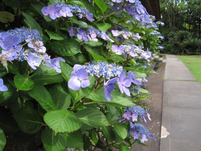 ひと足早く紫陽花の寺・円蔵院へ
