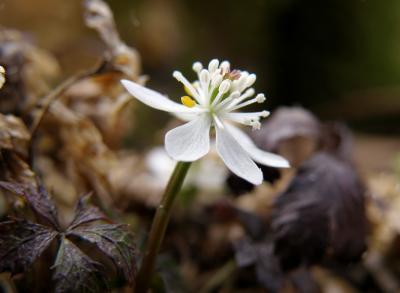 春の訪れを告げる妖精・バイカオウレン咲く牧野植物園