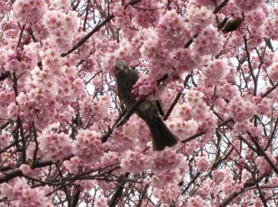 皇居東御苑 早春のお花見 梅、桜、福寿草