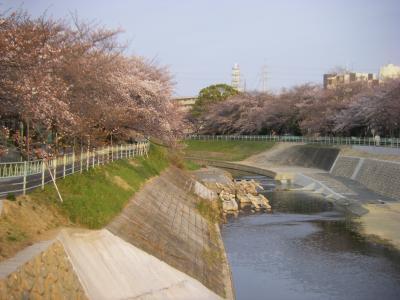 香流川の桜 2011