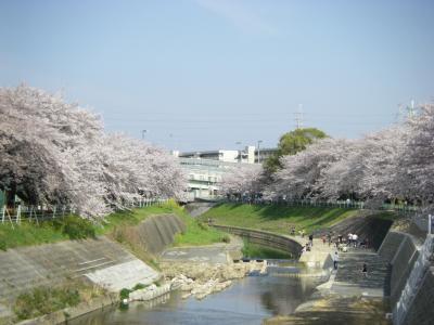 香流川の桜  満開2011