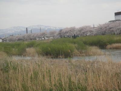 犀川の春 河口から大桑貝殻橋まで遡る