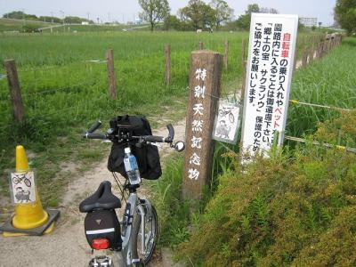 田島ヶ原のさくら草自生地、柳瀬川サイクリング