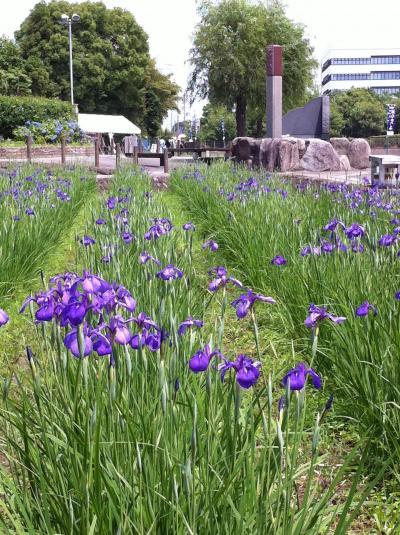 幻の花、「花かつみ」2011 阿久比町「花かつみ園」期間限定公開