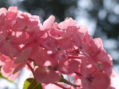 初夏のお花見・紫陽花愛でに三室戸寺&藤森神社