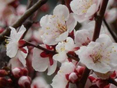 ご近所にも、やっと春がきた~!!ので、梅の花を探しに、散歩!