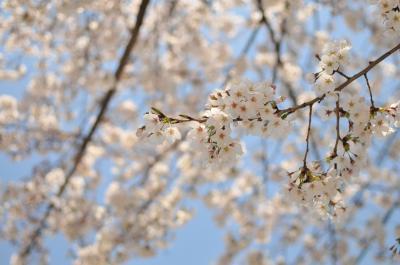 お花見。砧公園~桜丘