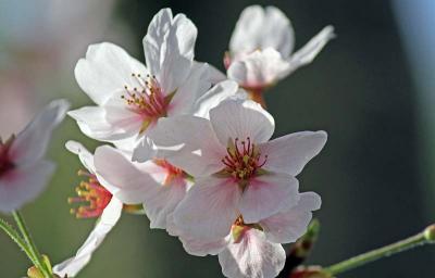 気ままな旅の物語⑥‐待ちに待った嬉しい春の訪れ 平安神宮で満開の桜を愛でる‐