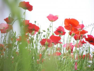 昭和記念公園  ☆シャーレーポピーと初夏の花たち☆